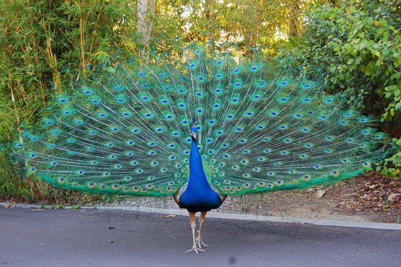 Nguồn gốc, Đặc điểm và cách nuôi chim công hiệu quả