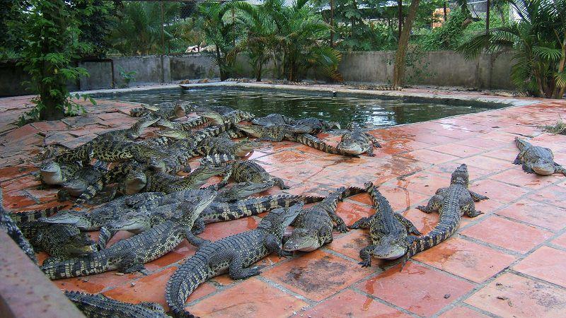 Kỹ thuật nuôi cá sấu lấy thịt và da. Chi phí đầu tư trang trại nuôi cá sấu