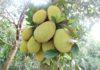 Giá Mít Thái quả và giống. Kỹ thuật trồng, chăm sóc cây mít Thái hiệu quả