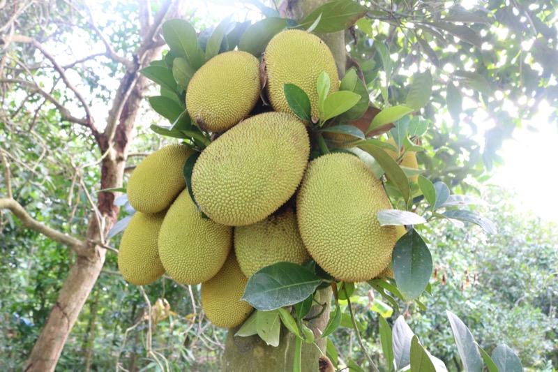 Giá mít Thái quả và cây giống. Kỹ thuật trồng mít Thái năng suất cao