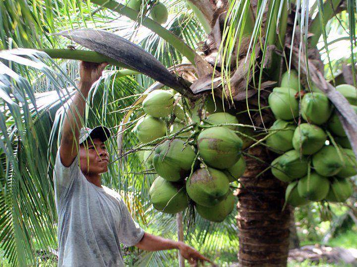 Giá bán dừa xiêm lùn quả và cây giống. Kỹ thuật trồng dừa xiêm lùn