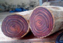 Giá bán cây sưa đỏ giống. Giá bán gỗ sưa đỏ theo năm tuổi, kích thước