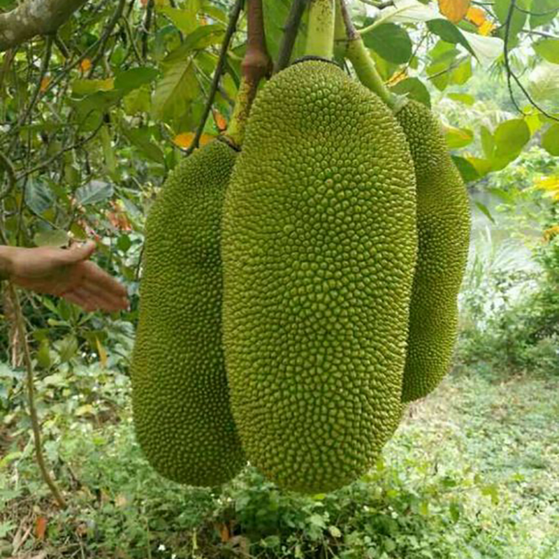 Kết quả hình ảnh cho kỹ thuật trồng mít malaysia dài
