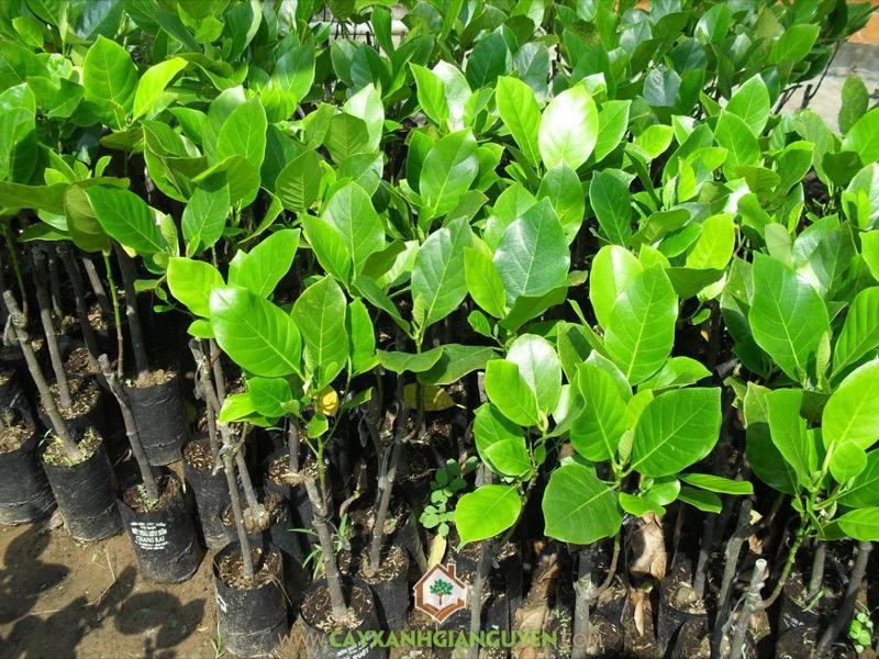 Giá mít siêu dài Malaysia quả và cây giống. Kỹ thuật trồng mít Malaysia
