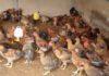 Cách làm chuồng nuôi gà thịt. Mật độ và diện tích chuồng nuôi gà thịt