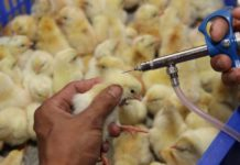 Lịch tiêm vacxin cho gà thịt và gà đẻ trứng. Bảng giá các loại vacxin cho gà