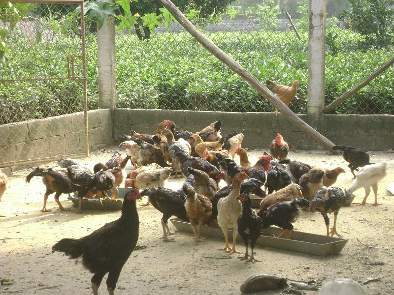 Mô hình, Kỹ thuật nuôi gà thả vườn kiểu mới năng suất cao, tiết kệm chi phí