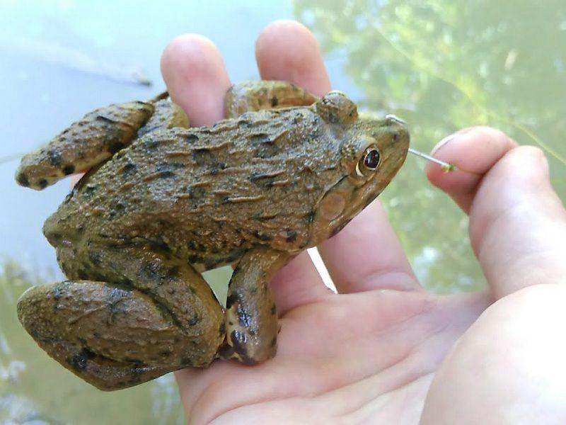 Cách câu ếch đồng. Cách làm mồi câu ếch, lưỡi câu và bẫy câu ếch