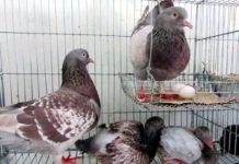 Cách nuôi bồ câu nhanh đẻ. Cho bồ câu ăn gì để nhanh đẻ trứng?