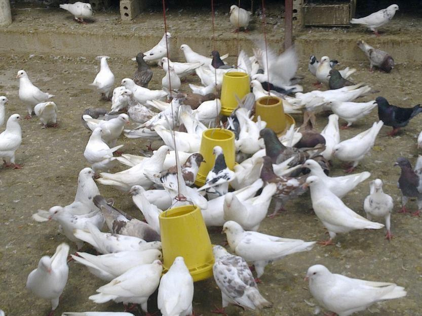 Khoáng premix là gì? Giá bán và địa chỉ bán khoáng Premix cho bồ câu