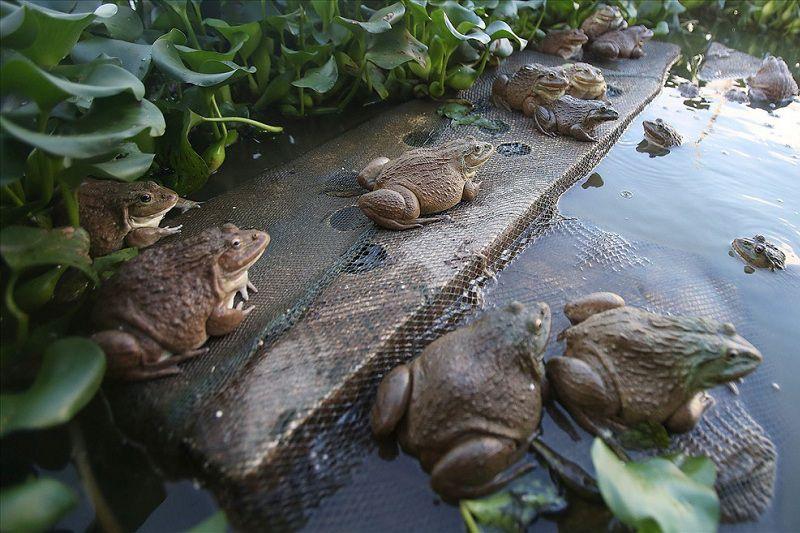 Nuôi ếch không thay nước là gì? Kỹ thuật nuôi ếch không cần thay nước