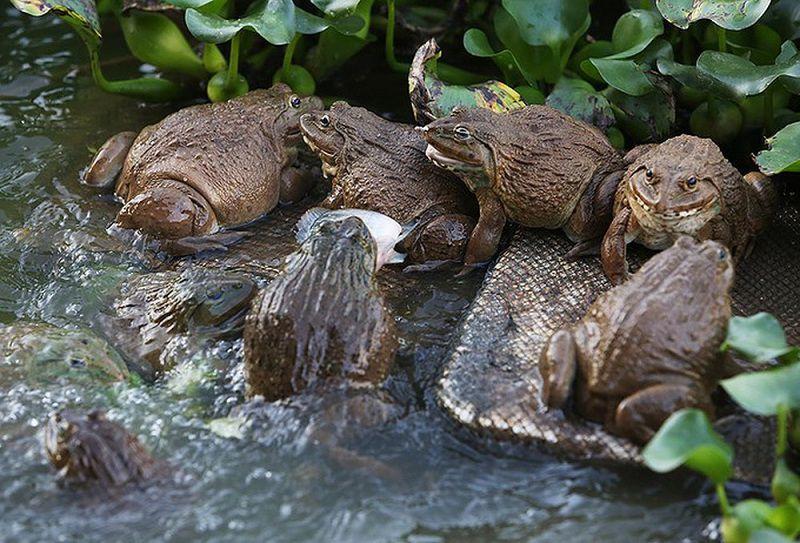 Nên cho ếch ăn gì? Các loại thức ăn và Chi phí thức ăn nuôi ếch thịt