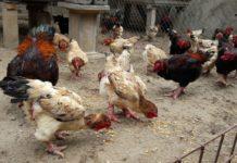 Cho gà Đông Tảo ăn gì? Thức ăn cho gà Đông Tảo nuôi thịt và đẻ trứng
