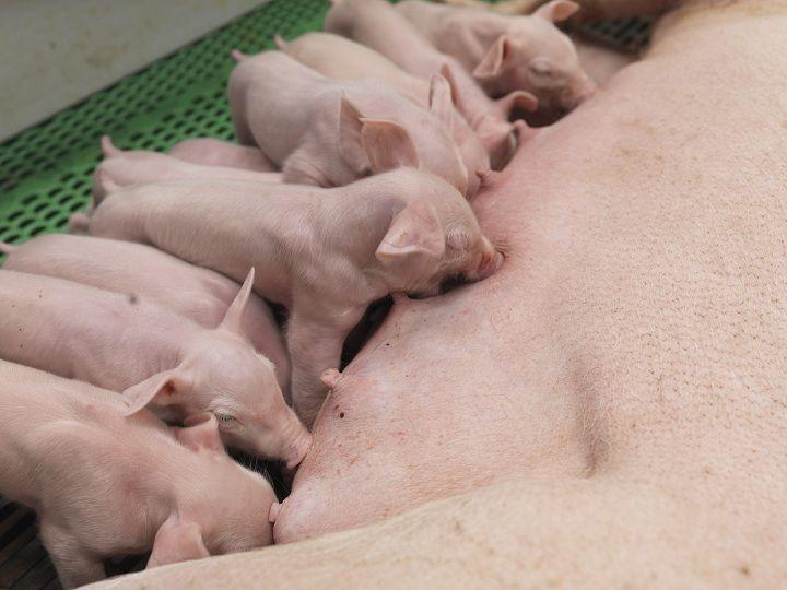 Các bệnh thường gặp ở lợn con mới đẻ. Cách chữa bệnh cho lợn con