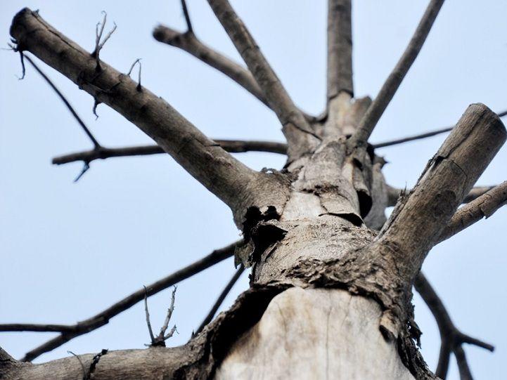 Cách làm cây chết mà không phải chặt. Thuốc làm chết cây gỗ nhanh?