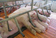 Cách làm chuồng heo nái. Thiết kế và kích thước chuồng nuôi lợn nái