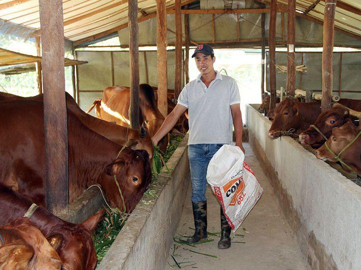 Kỹ thuật nuôi bò thịt vỗ béo. Thức ăn nuôi bò vỗ béo tăng cân nhanh