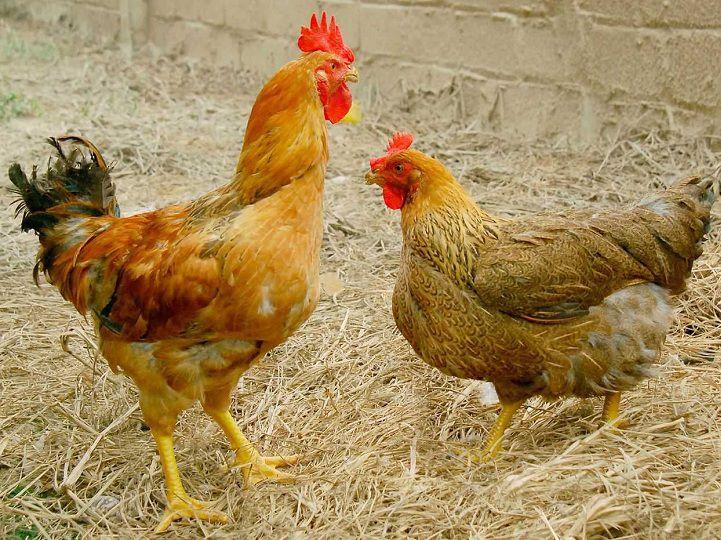 Các bệnh phổ biến thường gặp ở gà: nguyên nhân, biểu hiện và cách điều trị