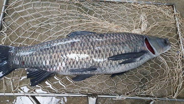 Cách câu cá trắm đen. Cách làm mồi câu cá trắm đen cực nhạy