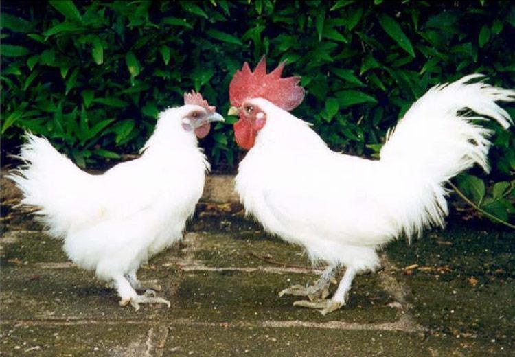 Giá gà ác giống và thịt. Trang trại bán gà ác giống tại Hà Nội và TPHCM