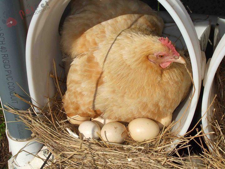 Cách làm ổ cho gà đẻ. Cách thiết kể ổ gà đẻ chi tiết