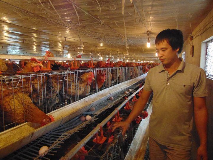 Kỹ thuật làm chuồng nuôi gà đẻ trứng. Các mẫu chuồng cho gà đẻ