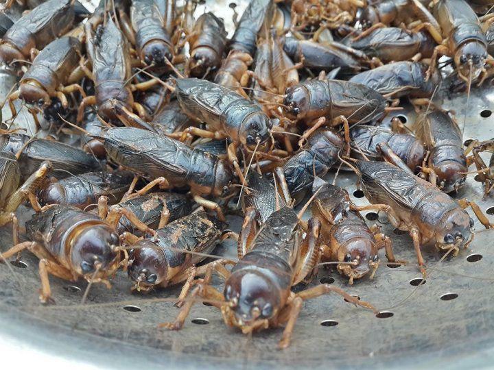 Giá dế mèn giống. Trang trại mua bán dế mèn giống ở Hà Nội, TPHCM