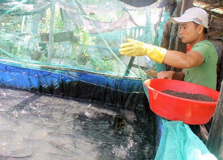 Cá lóc ăn gì? Thức ăn tự nhiên và công nghiệp cho cá lóc