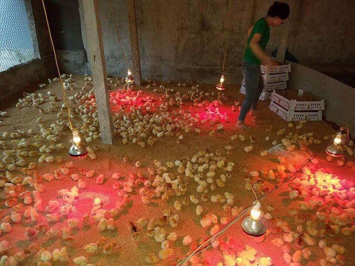 Hướng dẫn kỹ thuật úm gà bằng đèn hồng ngoại