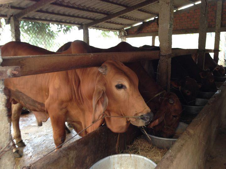 Cách ủ cây ngô cho bò ăn. Kỹ thuật ủ chua thân cây ngô cho trâu bò ăn