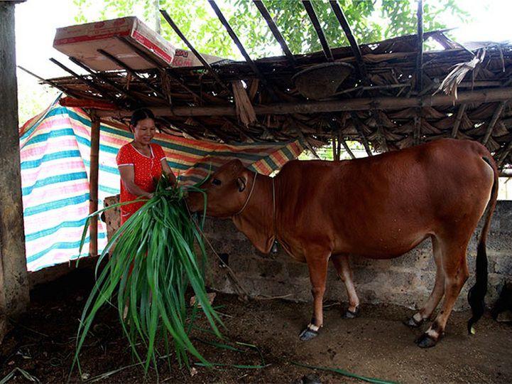 Các dấu hiệu nhận biết bò mang thai. Cách chăm sóc bò khi mang thai