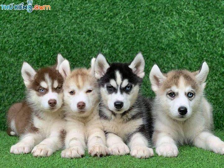 Giá chó Husky. Mua chó Husky ở đâu? Bán chó Husky ở Hà Nội, TPHCM