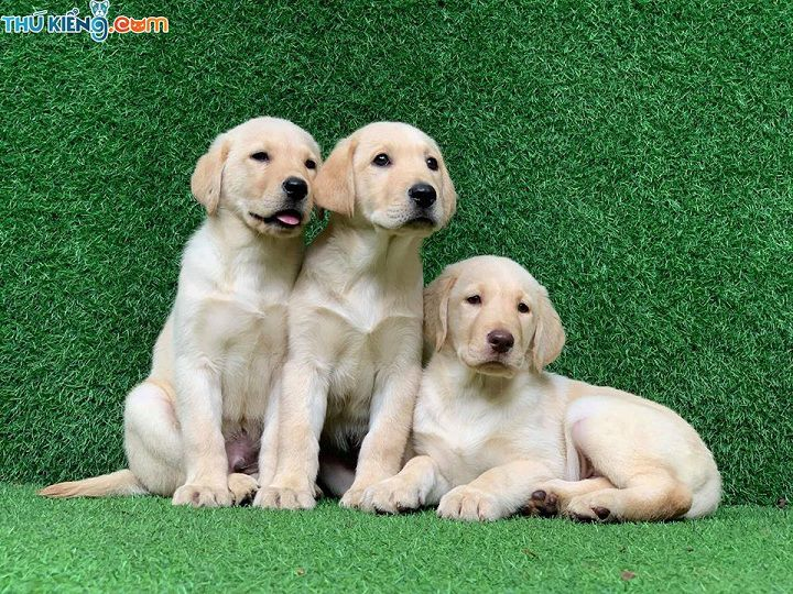 Giá chó Labrador. Mua chó Labrador ở đâu? Bán chó Labrador giá rẻ