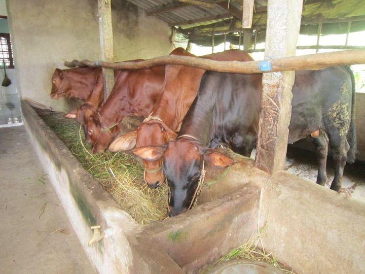 Kỹ thuật nuôi bò thịt nhốt chuồng. Cách làm chuồng nuôi bò thịt