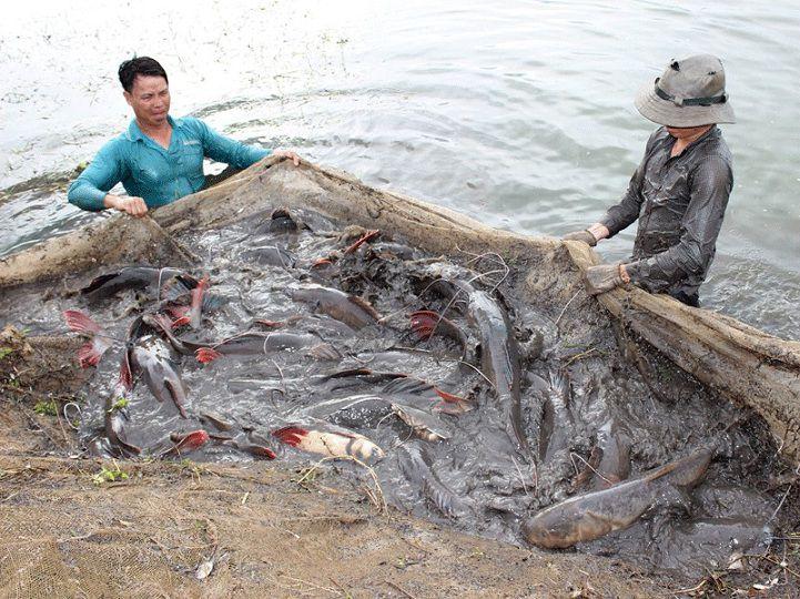 Kỹ thuật nuôi cá lăng. Thức ăn cho cá lăng. Cách làm ao nuôi cá lăng