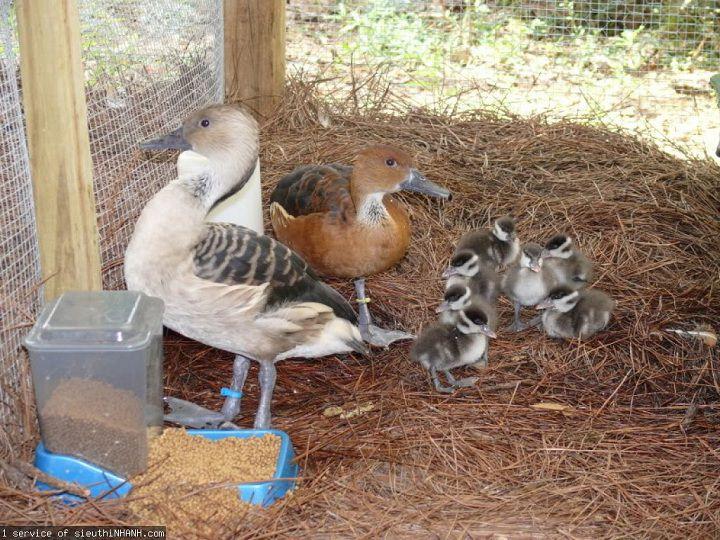 Kỹ thuật nuôi chim le le sinh sản. Thức ăn cho le le? Chuồng nuôi le le