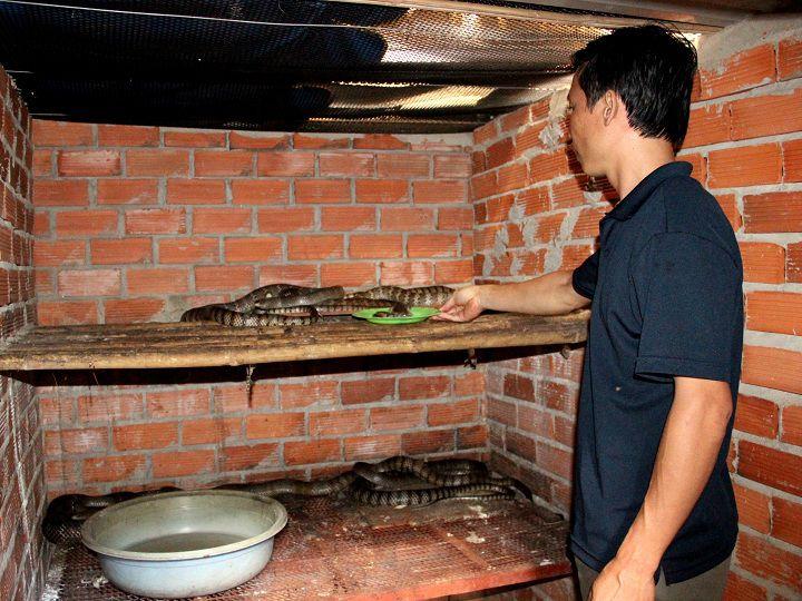 Giá rắn ráo trâu giống và thịt. Trang trại bán rắn ráo trâu giống uy tín