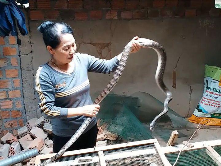 Rắn ráo trâu có độc không? Kỹ thuật nuôi rắn ráo trâu ở miền Bắc