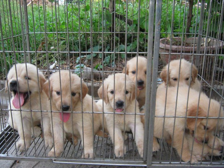 Giá chó Golden. Mua chó Golden ở đâu? Bán chó Golden giá rẻ uy tín