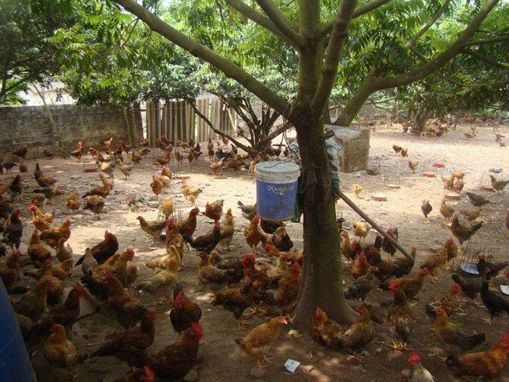 Kỹ thuật nuôi gà đẻ trứng thả vườn. Kích thích gà thả vườn đẻ siêu trứng