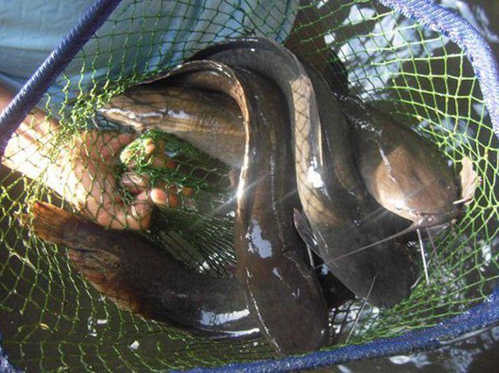Cá trê ăn gì? Thức ăn tự nhiên, thức ăn công nghiệp cho cá trê nuôi thịt