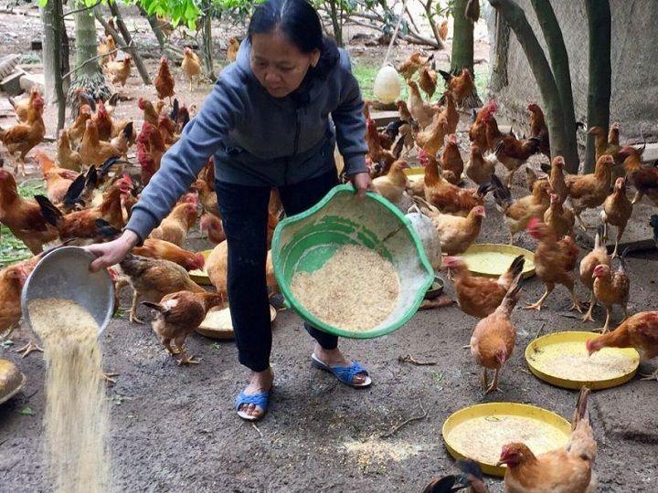 Cách pha trộn thức ăn cho gà. Công thức trộn cám cho gà đẻ, gà thịt