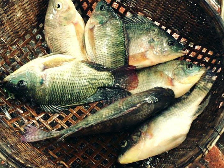 Giá cá rô phi, cá rô đầu vuông giống. Trang trại bán cá rô giống uy tín