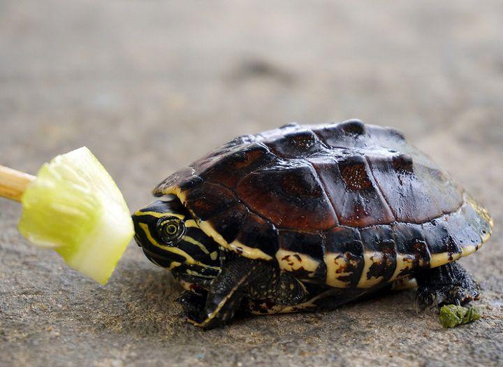Rùa nước ngọt ăn gì? Cách nuôi rùa nước ngọt. Bể nuôi rùa nước ngọt