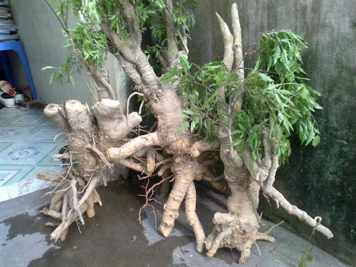 Kỹ thuật trồng cây đinh lăng lấy củ. Cách trồng cây đinh lăng cho củ to