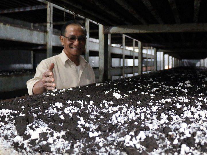Kỹ thuật trồng nấm rơm trong nhà kín. Cách làm nhà kín trồng nấm rơm