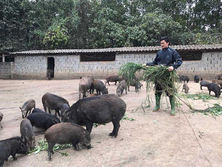 Lợn rừng ăn gì? Các loại thức ăn cho lợn rừng. Cách cho lợn rừng ăn