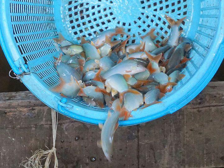 Mua bán cá giống ở Đồng Nai. Các trại cá giống uy tín ở Đồng Nai