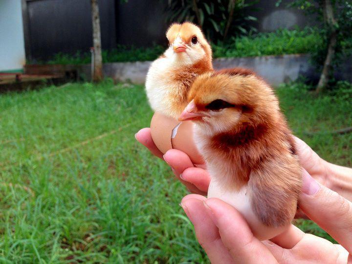 Giá gà ta giống TPHCM. Trang trại mua bán gà ta giống ở TPHCM