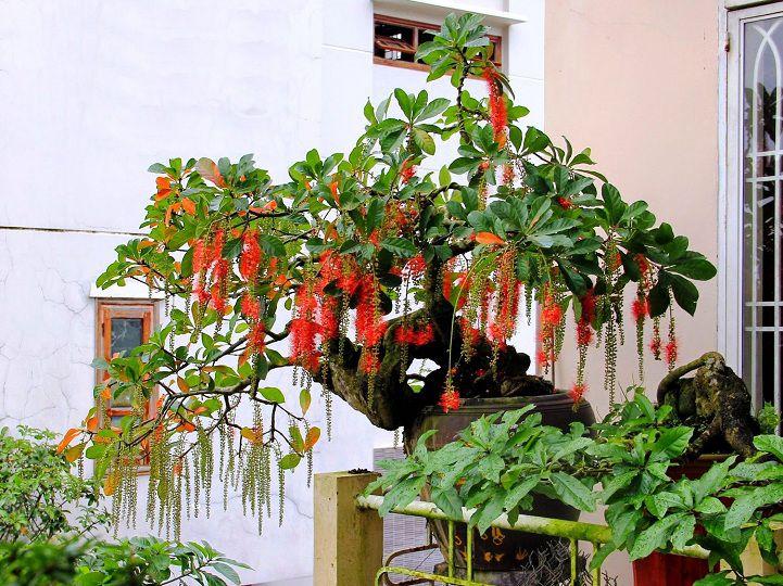Cây lộc vừng nên trồng ở đâu? Có nên trồng cây lộc vừng trước nhà?
